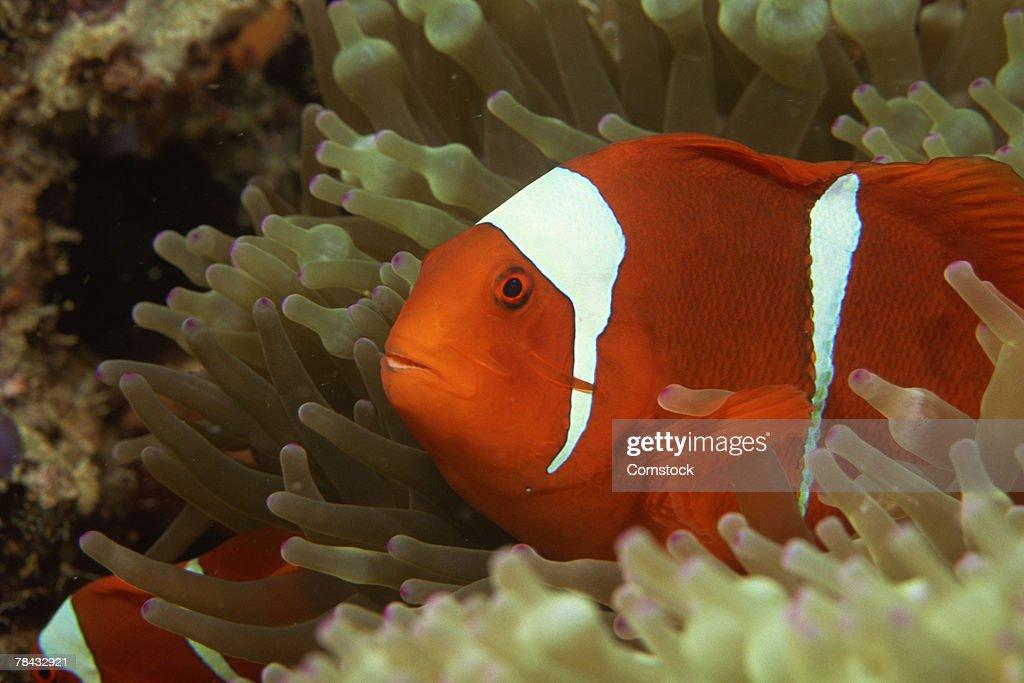 Maroon clownfish in sea anemone : Stockfoto