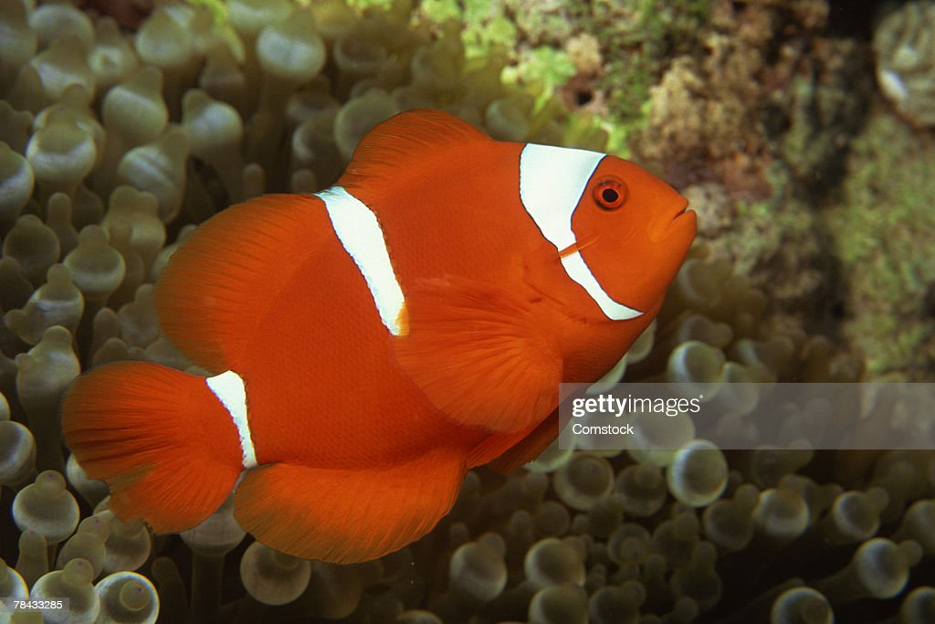 Maroon clownfish with sea anemone : Stockfoto