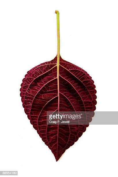 Maroon coleus leaf isolated on white