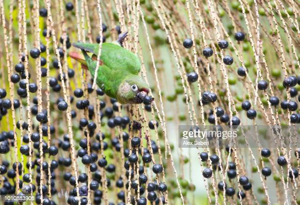A maroonbellied parakeet Pyrrhura frontalis feeds from the fruits of a palm tree in the Atlantic rainforest in Ubatuba Brazil