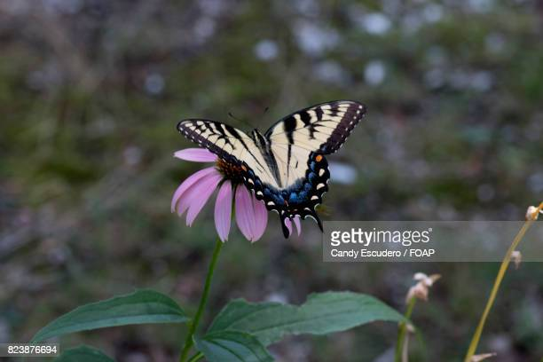 Marpesia butterfly on cone-flower with blurred background