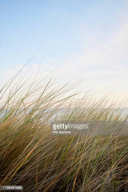 marram grass against sea and clear sky during sunset - dune de sable photos et images de collection