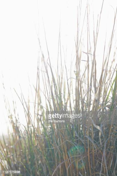 marram grass against sky - reed grass family stock photos and pictures