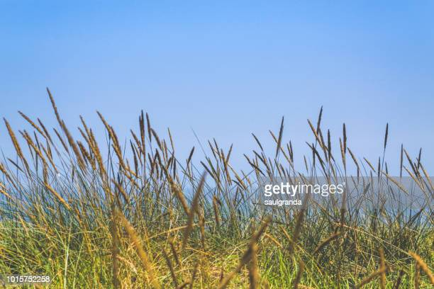 marram grass against the cantabrian sea - graspflanze stock-fotos und bilder