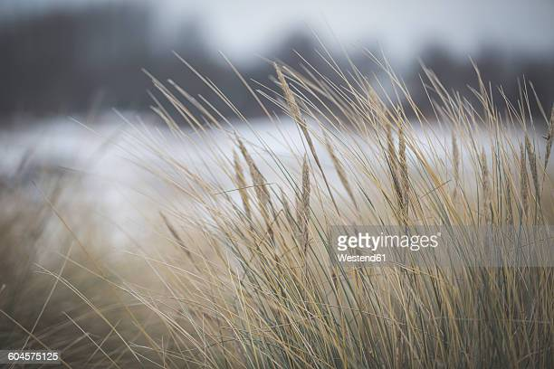 Marram grass in winter