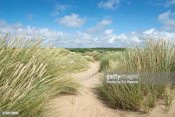 Marram grass on sand dunes at Formby point, Merseyside, England