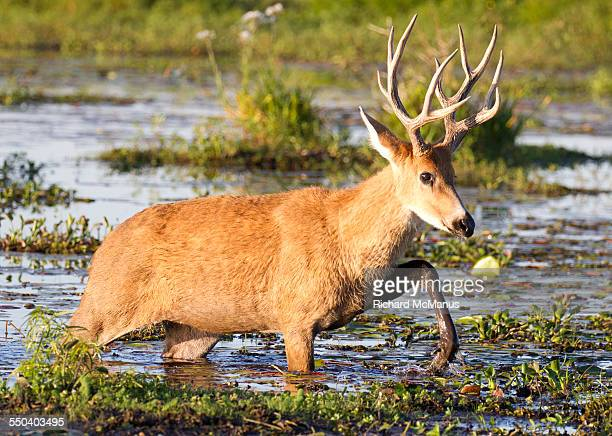 marsh deer striding through ibera wetlands - feuchtgebiet stock-fotos und bilder
