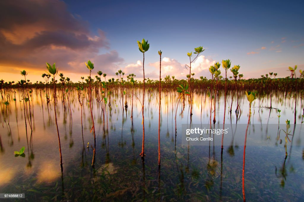Marsh flora at dusk, Cebu City, Central Visayas, Philippines : Stock Photo