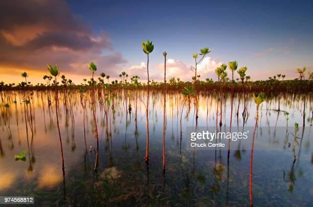 Marsh flora at dusk, Cebu City, Central Visayas, Philippines