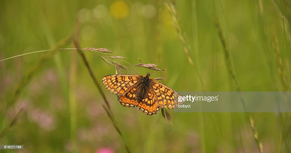 marsh fritillary (Euphydryas aurinia) : Stock Photo