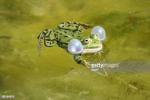 marsh frog (Rana ridibunda) Soplando su sacs vocal