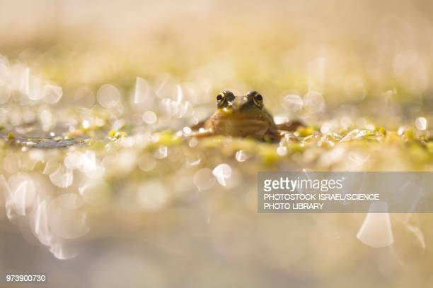 marsh frog - photostock stock pictures, royalty-free photos & images