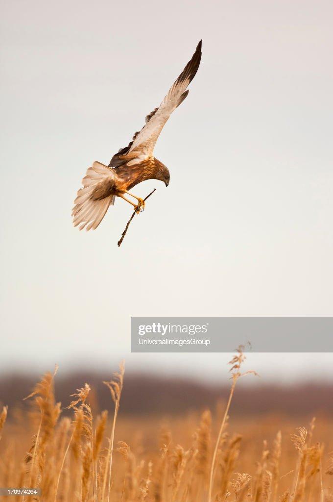 Marsh Harrier. : News Photo