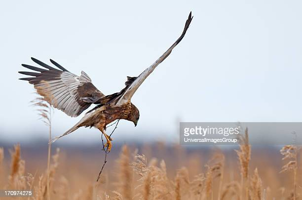 Marsh Harrier Circus Aeruginosus bird male building nest Lille Vildmose Denmark