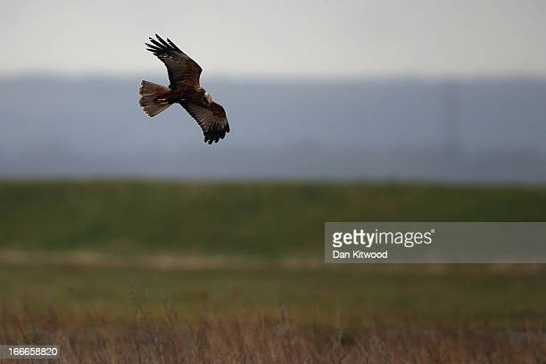 Marsh Harrier hunts over Elmley Marshes on April 12 2013 in Sheerness England The RSPB's Elmley Marshes lies on the Isle of Sheppy and is managed by...