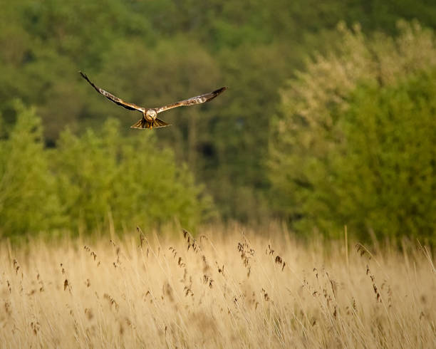 Marsh Harrier over Waltons