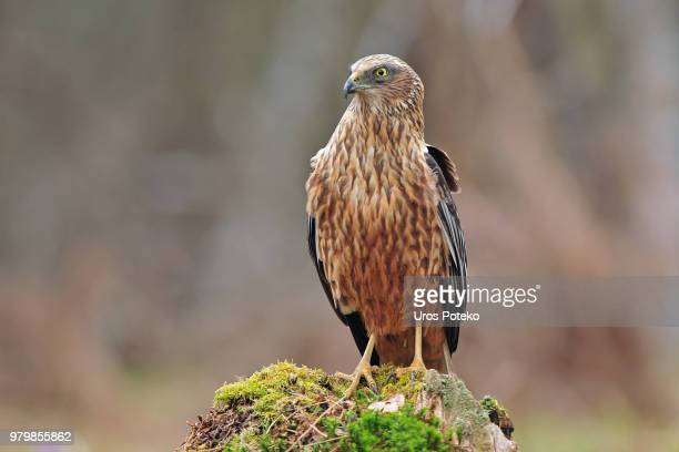 marsh harrier - perching stock photos and pictures