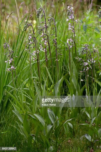 marsh helleborine (epipactis palustris) in group blooming in a wet meadow - bavaria/germany - moeras stockfoto's en -beelden