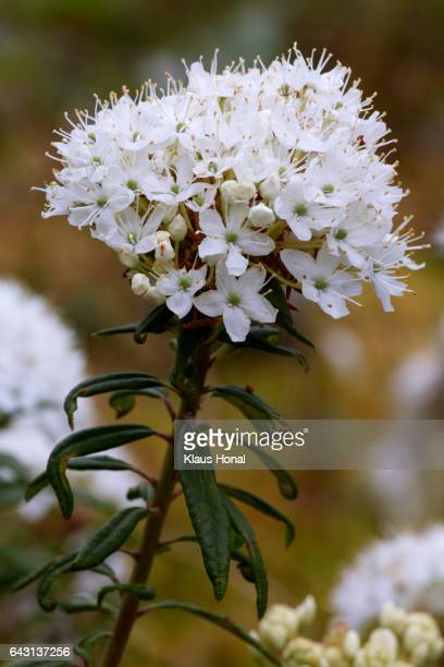 Marsh Labrador Tea (Rhododendron tomentosum, Ledum palustre) in full of bloom - Germany