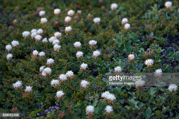 Marsh Labradortea in Greenlandic Qajaasaaraq Grows in bogs and moist soil flowers from june to july It is a low shrub with evergreen leaves that...