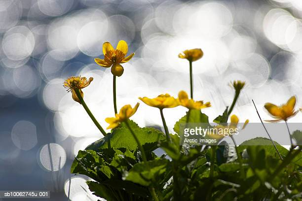 Marsh Marigold (Caltha palustris), close-up