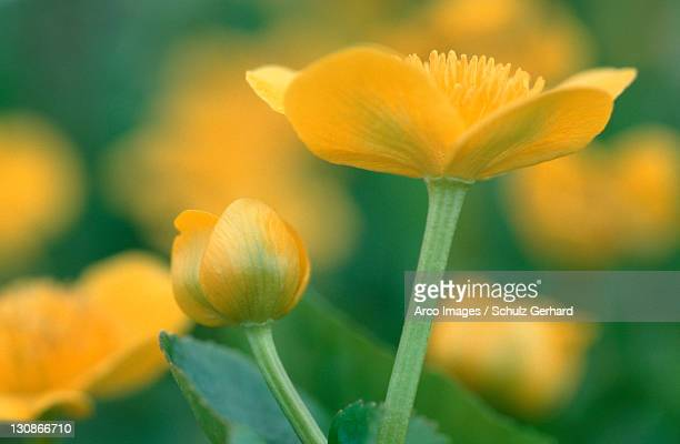 marsh marigold, schleswig-holstein, germany / (caltha palustris) - schleswig holstein stock pictures, royalty-free photos & images