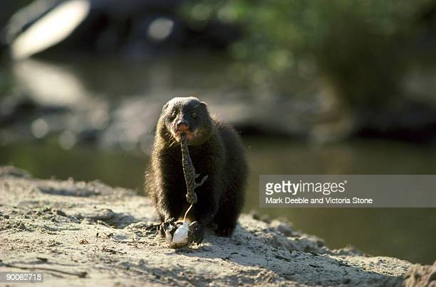 marsh mongoose atilax paludinosus eating young croc from egg serengeti, tanzania - mongoose stock photos and pictures