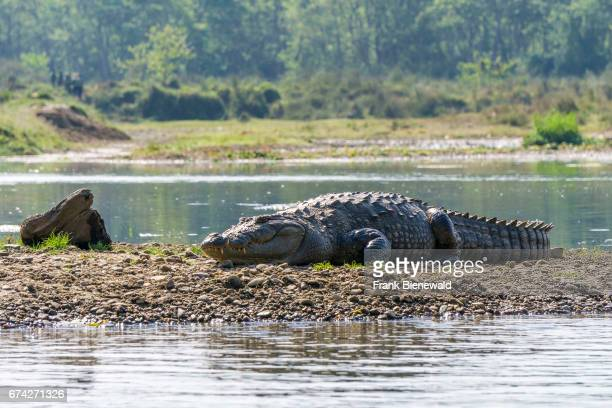 Marsh Mugger Crocodile is lying on the banks of the Rapti River in Chitwan National Park.