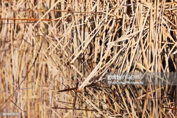 Marsh Reed Bulrushes Typha latifolia Pond Reflection