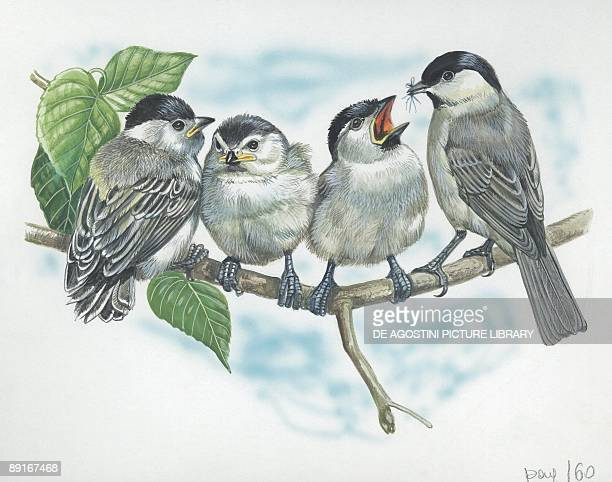 Marsh Tit feeding chicks illustration