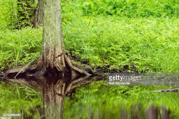 Marsh Tree Reflection