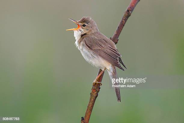 Marsh Warbler -Acrocephalus palustris- perched on a branch, Dummer Nature Park, Lower Saxony, Germany
