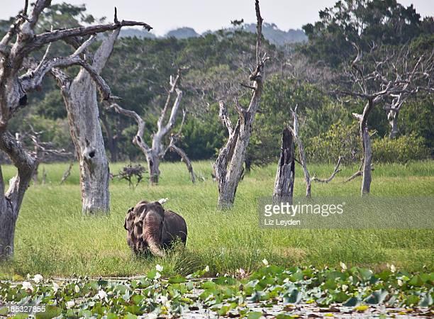 Marshy area; Yala National Park, Sri Lanka