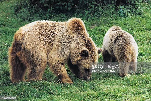 Marsican Brown Bear , Ursidae, Abruzzo National Park, Italy.