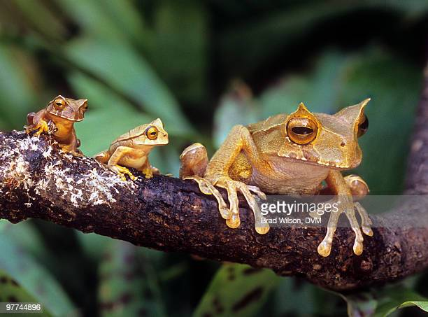 marsupial horned frog, gastrotheca cornuta - horned frog stock photos and pictures