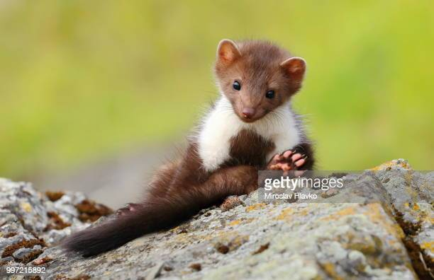 marten relaxing - pine marten stock pictures, royalty-free photos & images