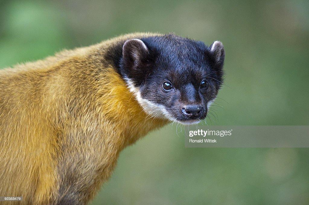 Martes flavigula, Yellow-throated marten : Stock Photo