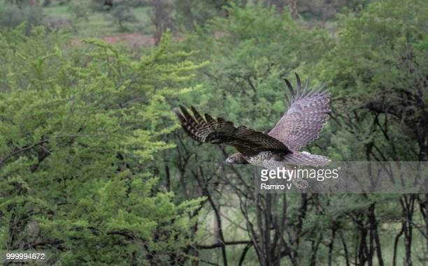Martial Eagle in fly