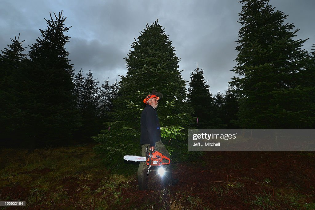 Martin MacKenzie, stands beside the Christmas Tree to be supplied to Downing Street at Garrocher Tree Farm on November 10, 2012 in Creetown, Scotland. The tree grower, won the coveted title of Champion Christmas Tree Grower 2012 at the 14th Annual British Christmas Tree Growers' Association and will now deliver a sixteen foot six inch tree to take up residence outside 10 Downing Street.