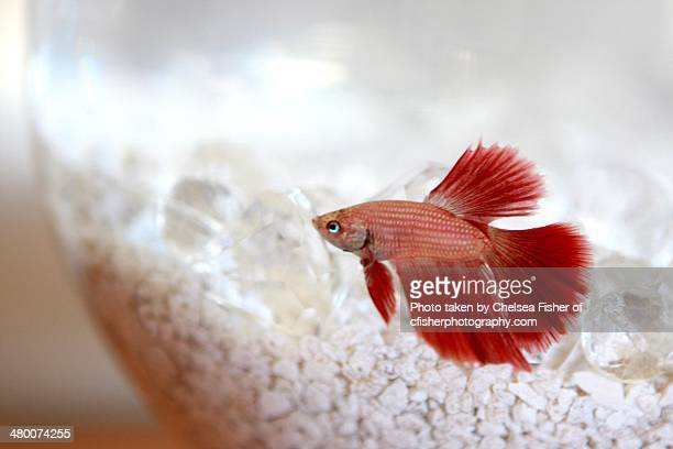 martin the red fish - redfish stock photos and pictures