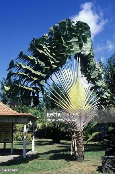arbre du voyageur