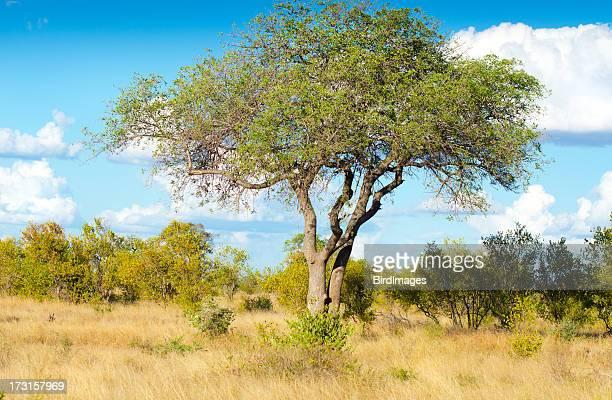 Marula albero-Sud Africa