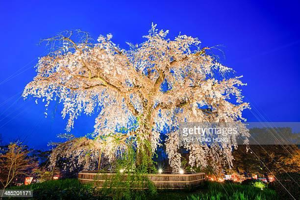 Maruyama Park, Weeping Cherry tree in park