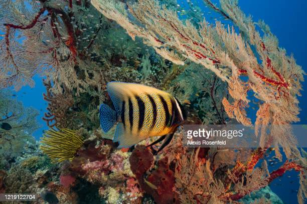 Marvelous sixbar angelfish takes shelter under a gorgonian fan on April 25, 2018 at Tubbataha Reef, Philippines, Sulu Sea. Listed as a UNESCO World...