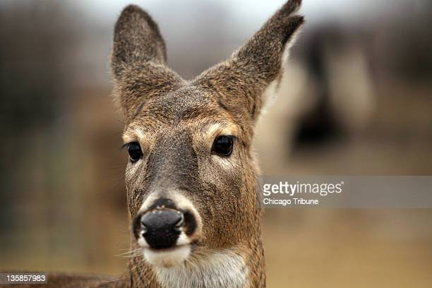 Marvin Graaf pets Charlotte a whitetailed doe at his home in Lake Geneva Wisconsin on Tuesday December 13 2011 Initially the Wisconsin Department of...