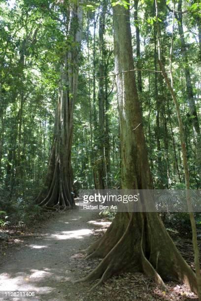 mary cairncross rainforest walk - rafael ben ari 個照片及圖片檔