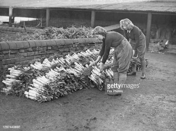 Mary Standaloft and Barbara Tennant, members of the Women's Land Army hand bundle winter leek plants for sale at market on 24th January 1944 at the...