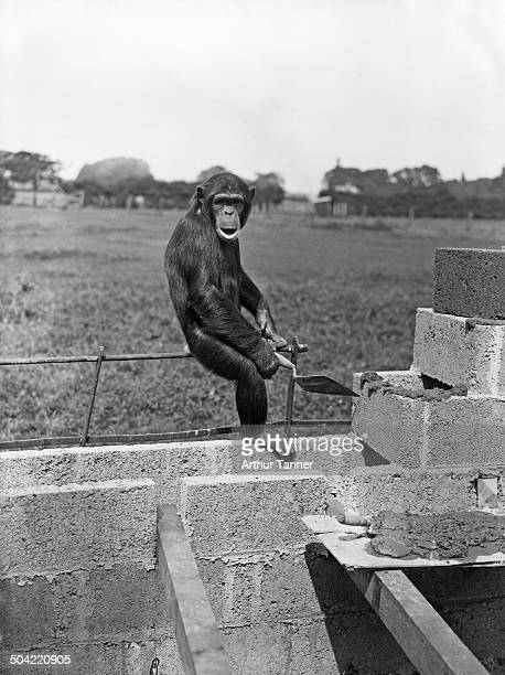 Mary the chimpanzee helps build new enclosures for the animals at Chester Zoo in UptonbyChester Cheshire UK 10th August 1937