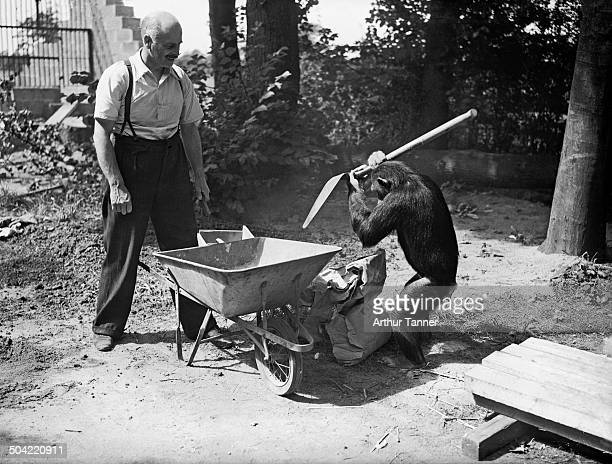 Mary the chimpanzee helps George Mottershead build a new lion enclosure at Chester Zoo in UptonbyChester Cheshire UK 10th August 1937 Mottershead...