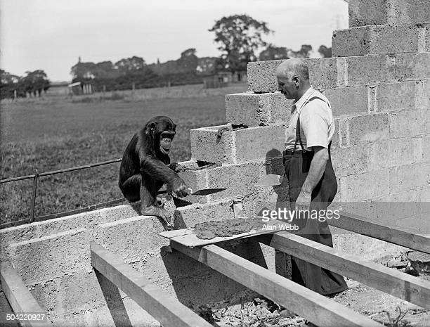 Mary the chimpanzee helps George Mottershead build a new lion enclosure at Chester Zoo in UptonbyChester Cheshire UK 17th August 1937 Mottershead...
